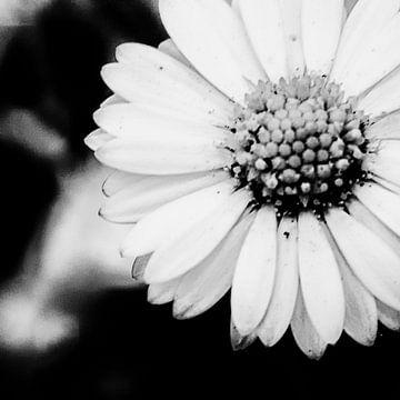 Schwarz-weiße Blume direkt ins Foto von Arendina Methorst