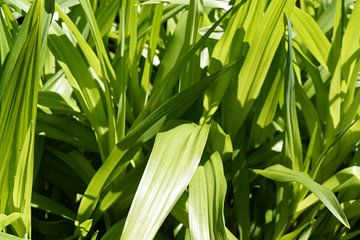 Gras van Cheyenne Sch