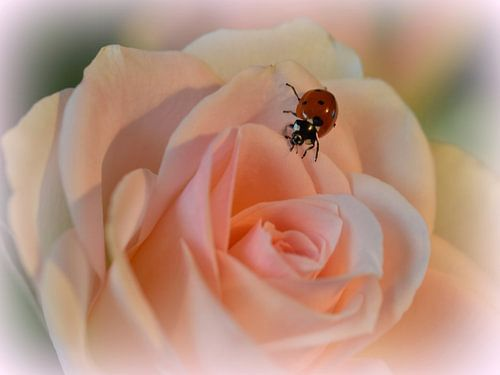 Lieveheersbeestje van