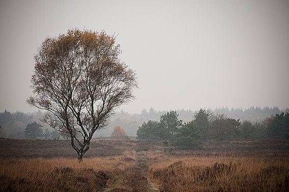 boom Veluwe  van Maurice Looyestein