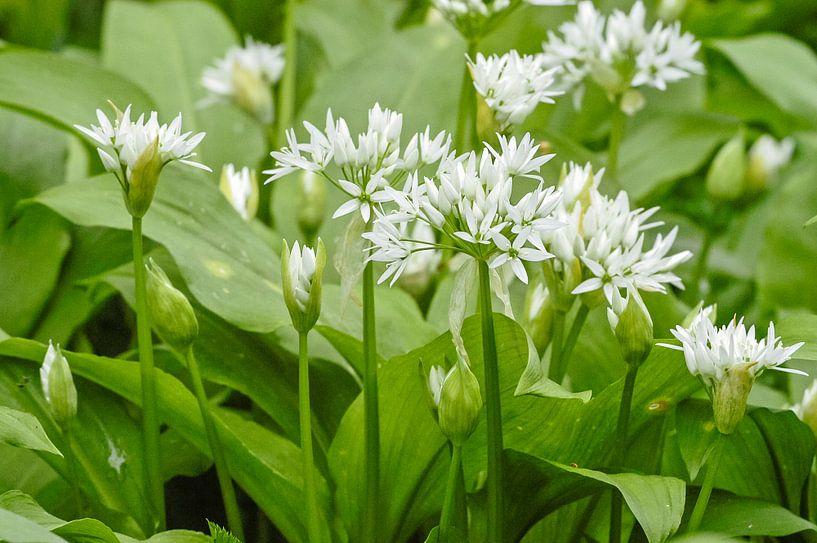 Daslook, witte bloemen. Allium ursinum van Martin Stevens