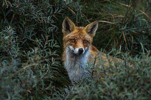 HIDDEN FOX