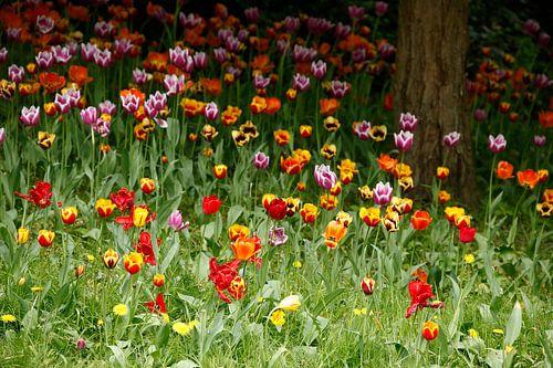 (Tulipa); Tulpe; Tulpen; Blume; Blumen; bunt, tulpenblüte, Blumenwiese