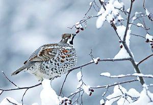 Hazelhoen (Bonasia bonasia) in de sneeuw.