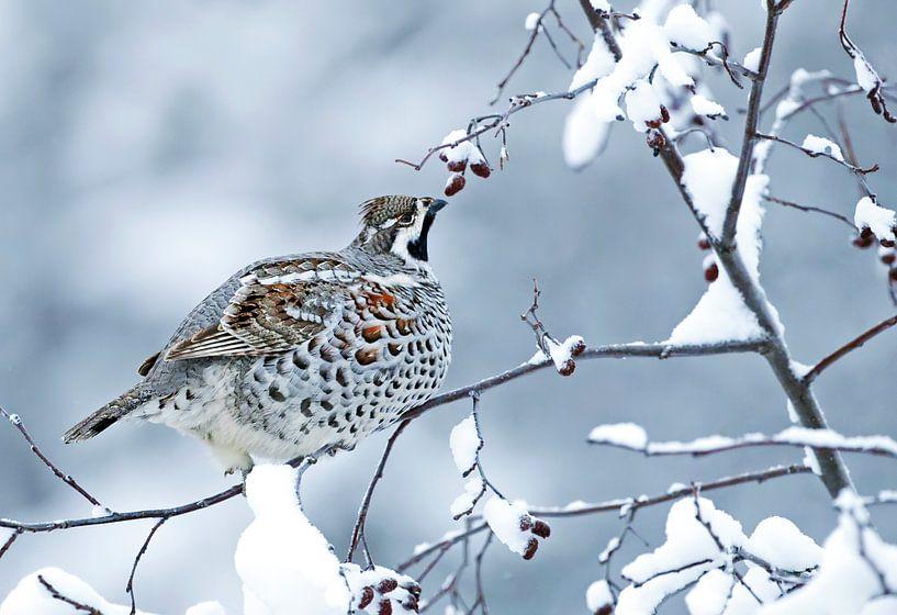 Hazelhoen (Bonasia bonasia) in de sneeuw. van Beschermingswerk voor aan uw muur