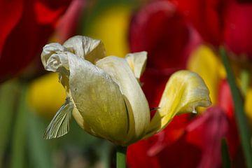 Vlinder op tulp von Niki Radstake