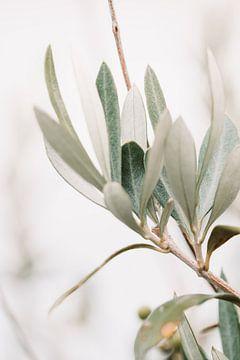 Olijfboom | olijftakken | fine art photography | botanisch van Lindy Schenk-Smit