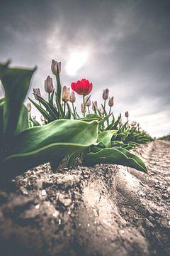 Rote anomale Tulpe auf Feld unter dunklen Wolken von Fotografiecor .nl
