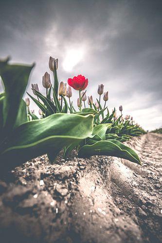 Rode afwijkende tulp op veld onder donkere wolken