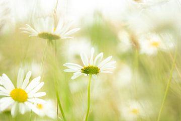 Schönes stimmungsvolles Bild mit Gänseblümchen von Caroline van der Vecht