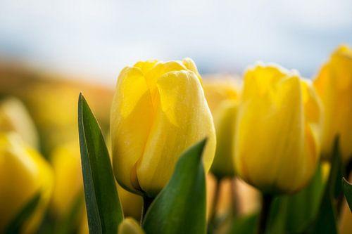 Tulpenveld in Noord-Holland van