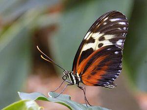 Heliconius Hecale, Tropische vlinder Tropical Butterfly (Collectie 2018) van