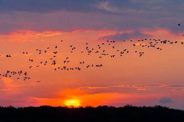 Nonnengans im Sonnenuntergang von Andrea de Vries