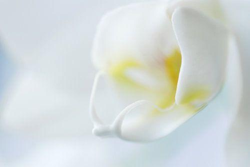 Witte Orchidee  van