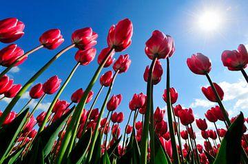 Prachtige rode tulpen van een bollenveld omhoog kijkend naar de zon tegen een strak blauwe lucht van