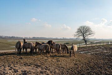 Konikpaarden in de Brabantse Biesbosch van Ruud Morijn