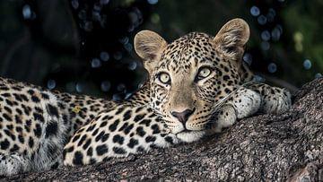 léopard à Chobe N.P. Botswana sur t.a.m. postma
