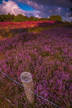 Blühende Heide 6 von Peter Heins