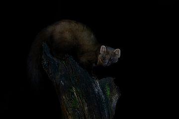 Der Baummarder in der Nacht. von Albert Beukhof