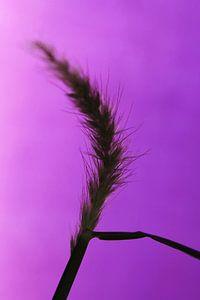 Wuivende grasspriet met paarse gloed