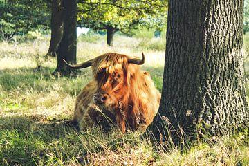 Schottischer Hochlandbewohner im Naturschutzgebiet von Laura Reedijk