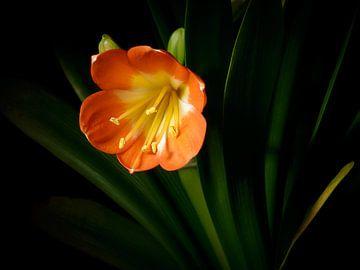 Oranje gele Clivia met zwarte achtergrond van Victor van Dijk