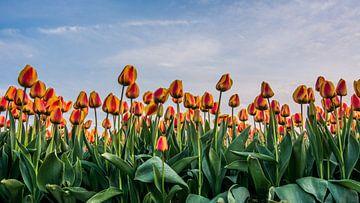 tulpen bij ondergaande zon 01 van