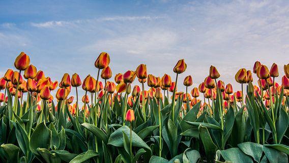 tulpen bij ondergaande zon 01 van Arjen Schippers