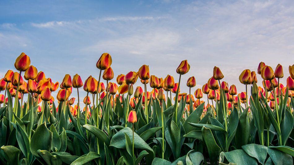 tulpen bij ondergaande zon 01