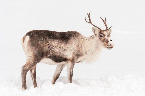 Rendierweiden in de sneeuw in Noord-Noorwegen