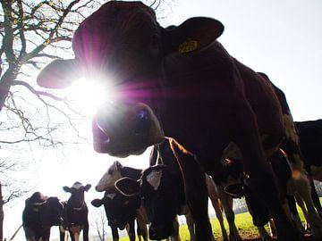 Koe, stier en zon. van Wendy Bremmert