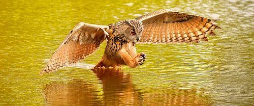Panorama van een Oehoe, de vogel vliegt met uitgespreide vleugels  en staart in het water. boven een