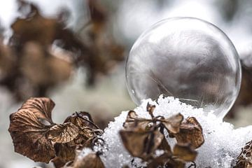 Bevroren zeepbel op hortensia van Kristel van de Laar