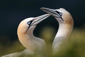 Northern Gannets *Morus bassanus*