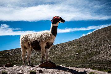 Lama von Eerensfotografie Renate Eerens