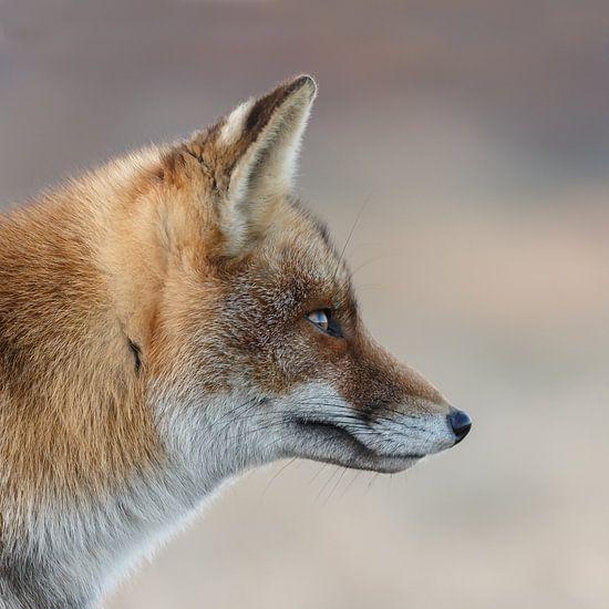 Portret van een vos van Menno Schaefer