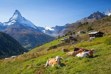 Koeien Findelen Matterhorn Zermatt van Menno Boermans