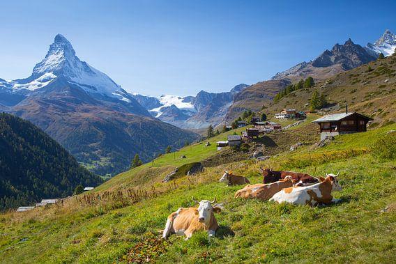 Kuhen Findelen Matterhorn Zermatt