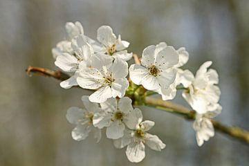 Blüte von Jeanine den Engelsman