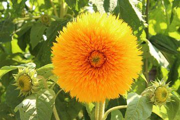 Doppelte Sonnenblume von Wilma Overwijn
