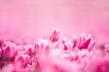 Rosa Tulpe in einem blühenden Tulpenfeld von Robin Polderman