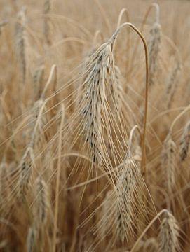 Weizenähren von simone swart