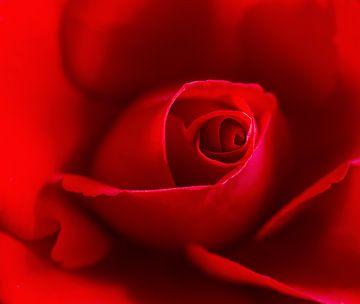 rode roos in close-up van Corrie Ruijer