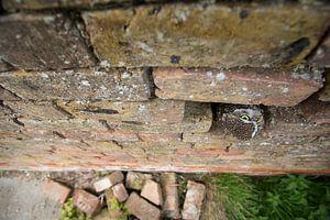 Kuckuck, kuckuck! Die kleine Eule schaut aus der alten verfallenen Wand auf.