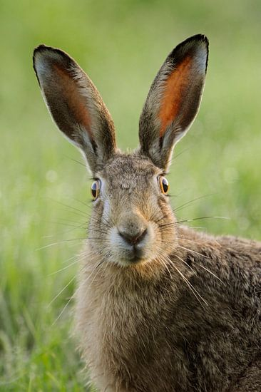 Hare watching surprised, funny close up