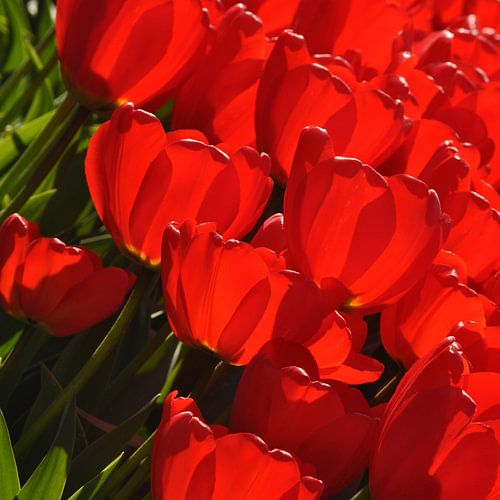 Vandaag is rood...de kleur van mijn tulpen.. van