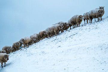 Onder de wol... van Ton C Kroon