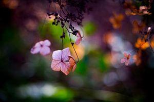 hortensia in het voorjaarszonnetje