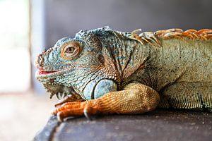 Grün-blauer und orangefarbener Leguan auf grauem Hintergrund