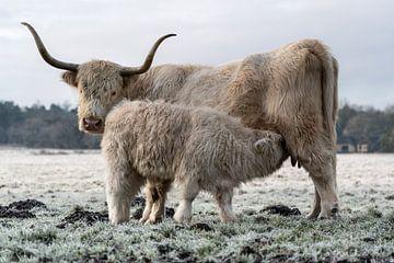 Schotse hooglander met kalf van Durk-jan Veenstra